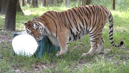 Quarantine Essentials With BIG Cats!
