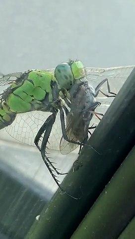 Une libellule affamée dévore une grosse mouche