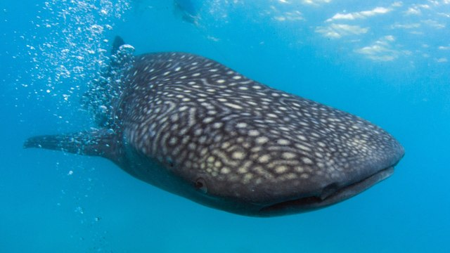 'A privilege': Swimming with endangered whale sharks in Qatar