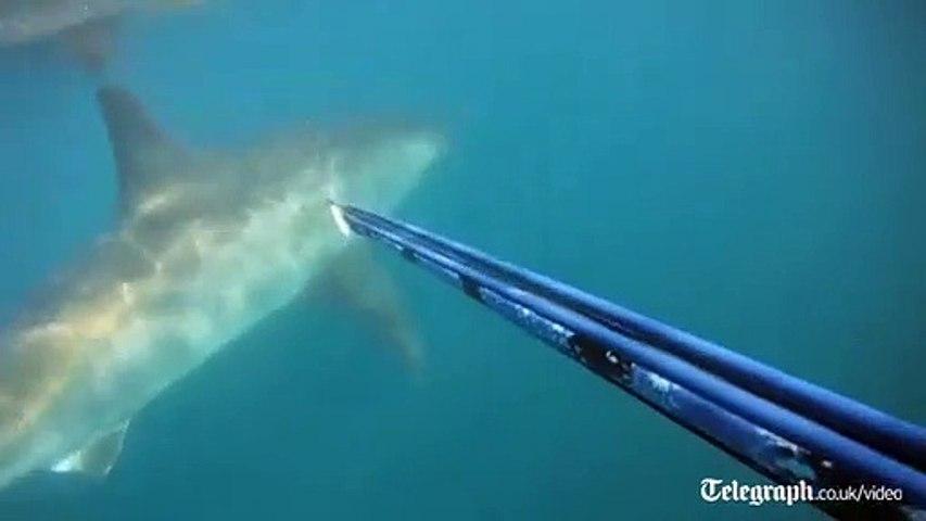 Un plongeur croise la route d'un grand Requin Blanc