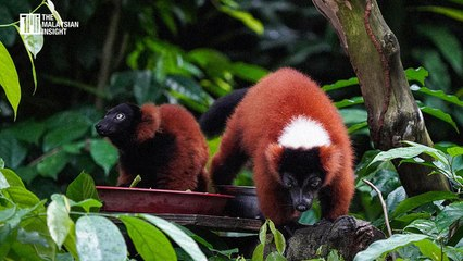 Critically endangered red-ruffed lemur twins born at the Singapore Zoo