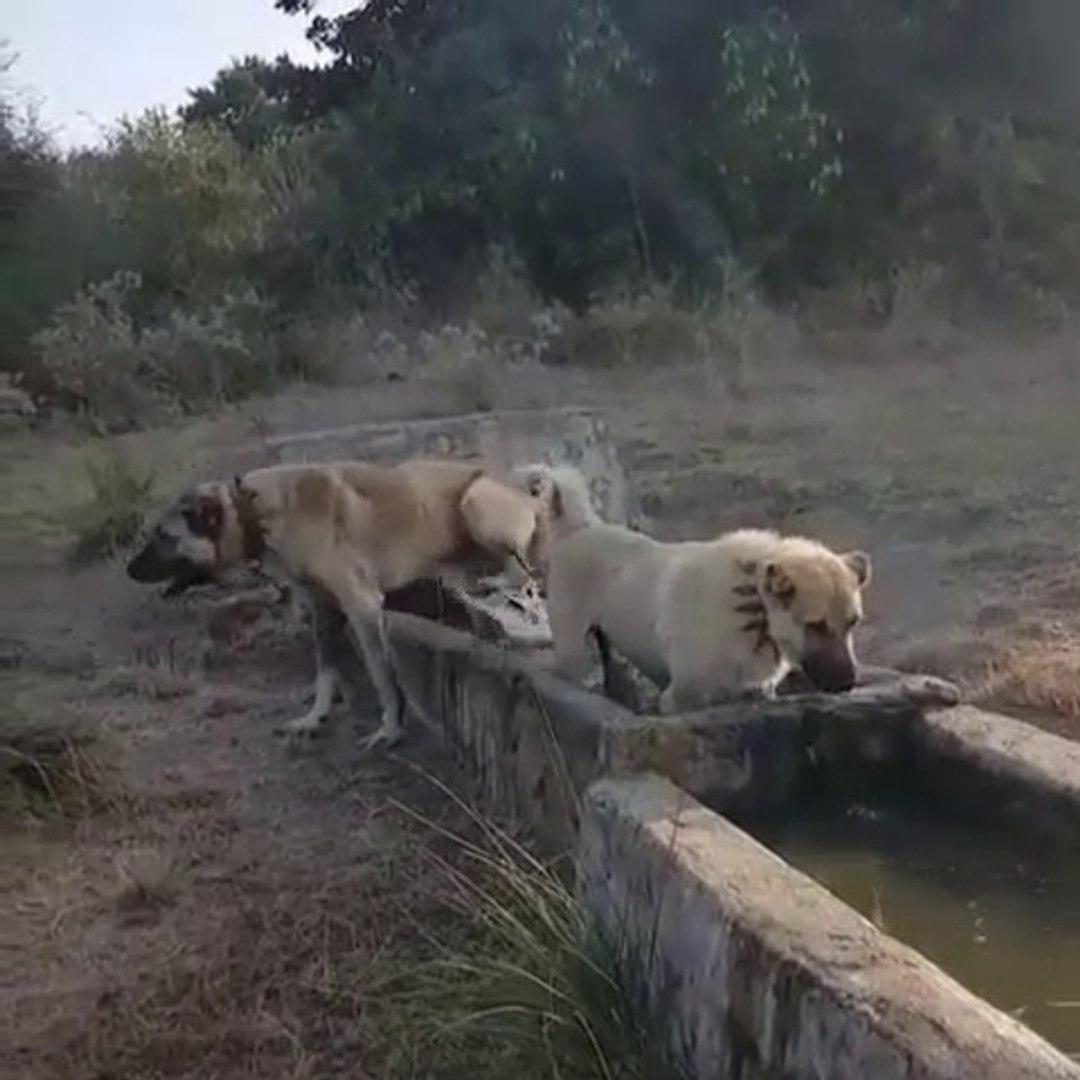 COBAN KOPEKLERi SPORDAN SONRA SU KEYFi - ANATOLiAN SHEPHERD DOGS EXERCiSE LATER SHOWER
