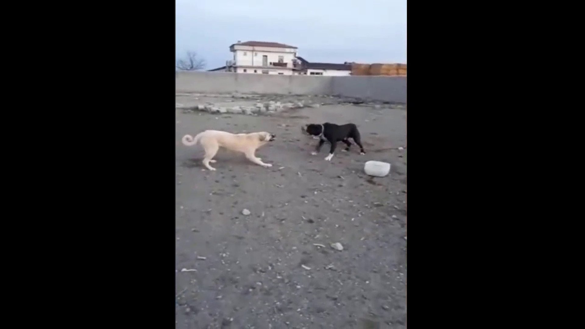 BULLY KUTTA vs COBAN KOPEGi - ANATOLiAN SHEPHERD DOG vs BULLY KUTTA