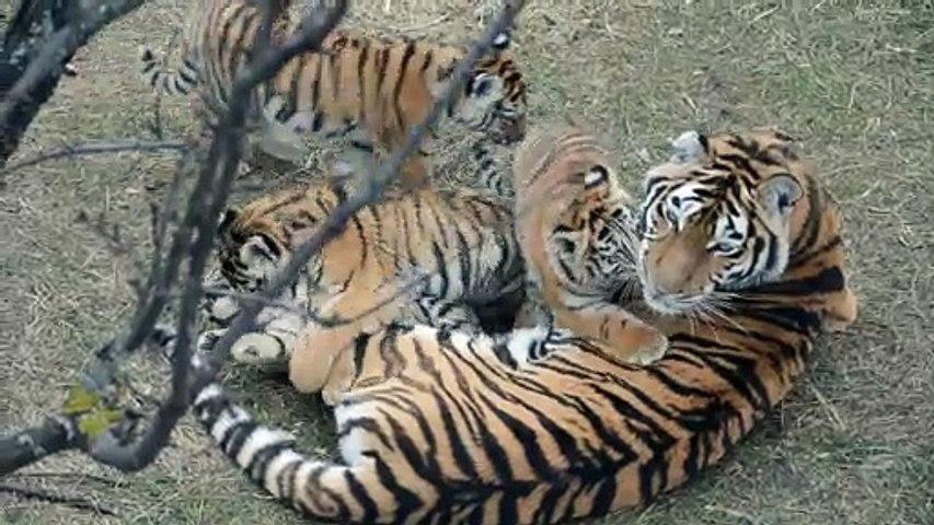 Cette maman tigre et ses 4 petits sont juste adorables