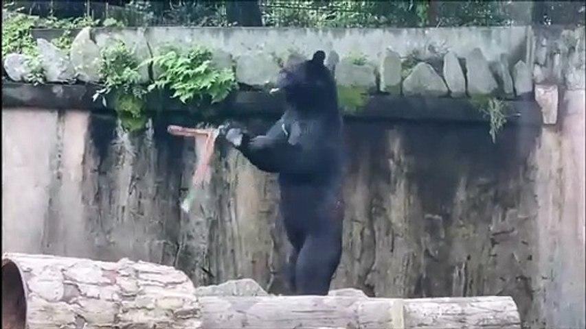 Cet ours est champion d'arts martiaux