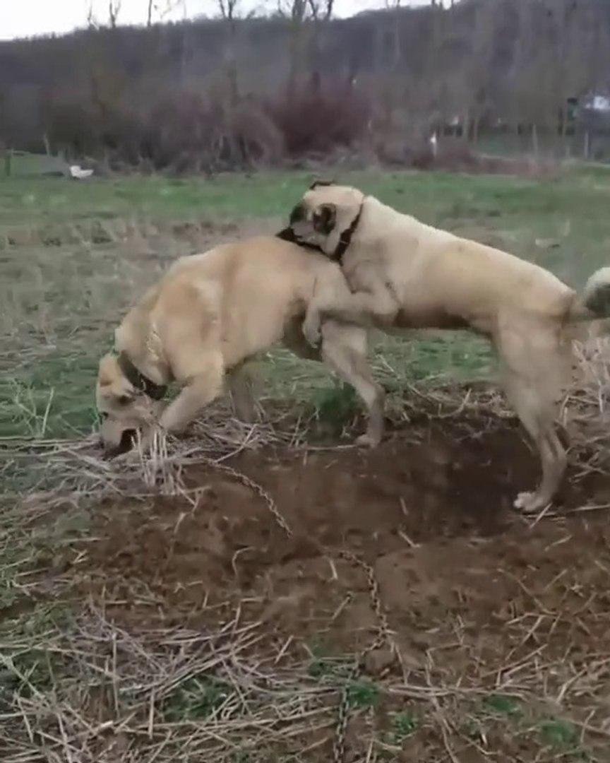 ANADOLU COBAN KOPEKLERiNiN SERT OYUNLARI - ANATOLiAN SHEPHERD DOGS ROUGH PLAY