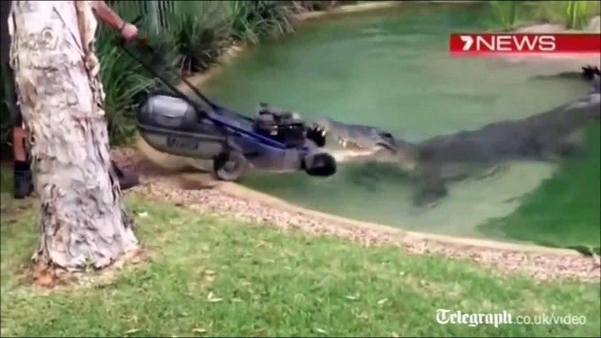 Pas simple de tondre la pelouse avec un crocodile à côté