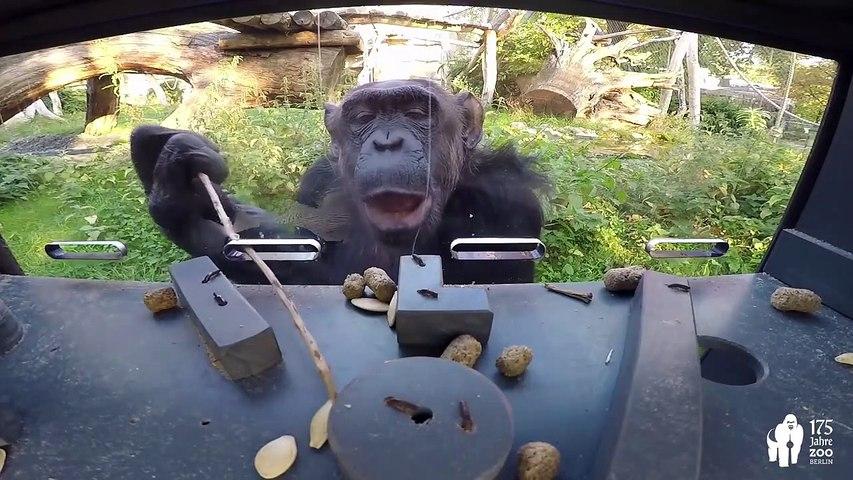 Oui, ce chimpanzé est plus intelligent que vos enfants