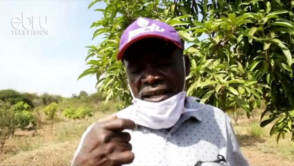 Farmers Urged To Form More Cooperatives To Boost Mango Farming