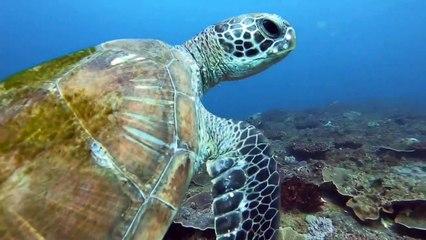 Beautiful green sea turtle sims with scuba diver