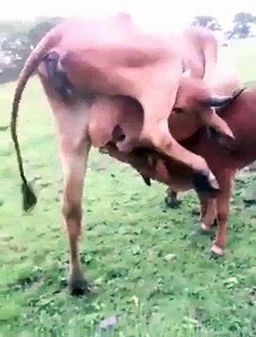Cette vache assoiffée boit son propre lait