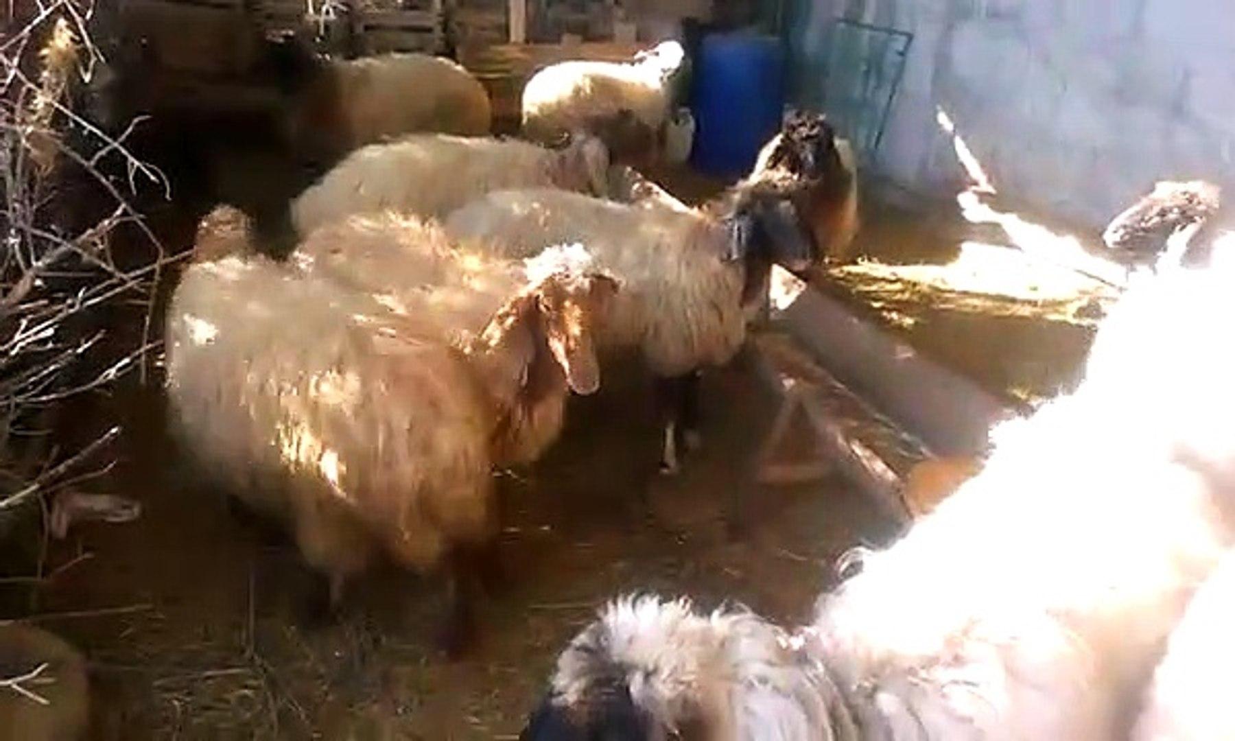 Koyun kuzu sesleri videoları