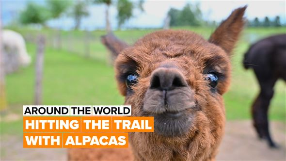 Around the World: There's more to alpacas than just cute fluffy faces
