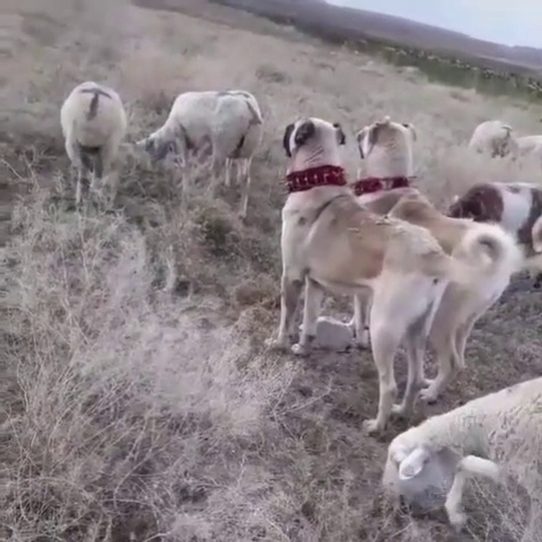 ANADOLU COBAN KOPEKLERi KOYUN NOBETi HAZIR KITA - ANATOLiAN SHEPHERD DOGS and SHEEPS