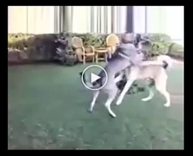 ANADOLU COBAN KOPEKLERi SEVİMLi HALLERi - ANATOLiAN SHEPHERD DOG VS