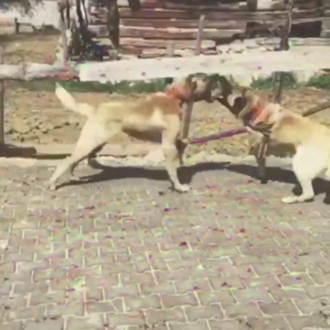 ANADOLU COBAN KOPEKLERi SERT KARSILASMA - ANATOLiAN SHEPHERD DOG HARD VS