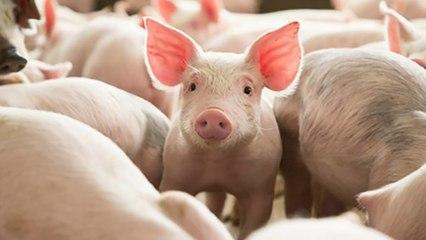 Giá lợn hơi thấp nhất 81.000đ/kg