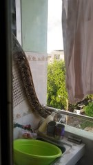 Huge python slithers out of bathroom window