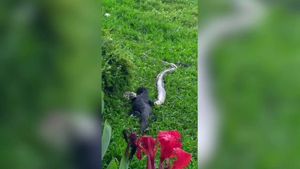 Monitor lizard eats python on river bank