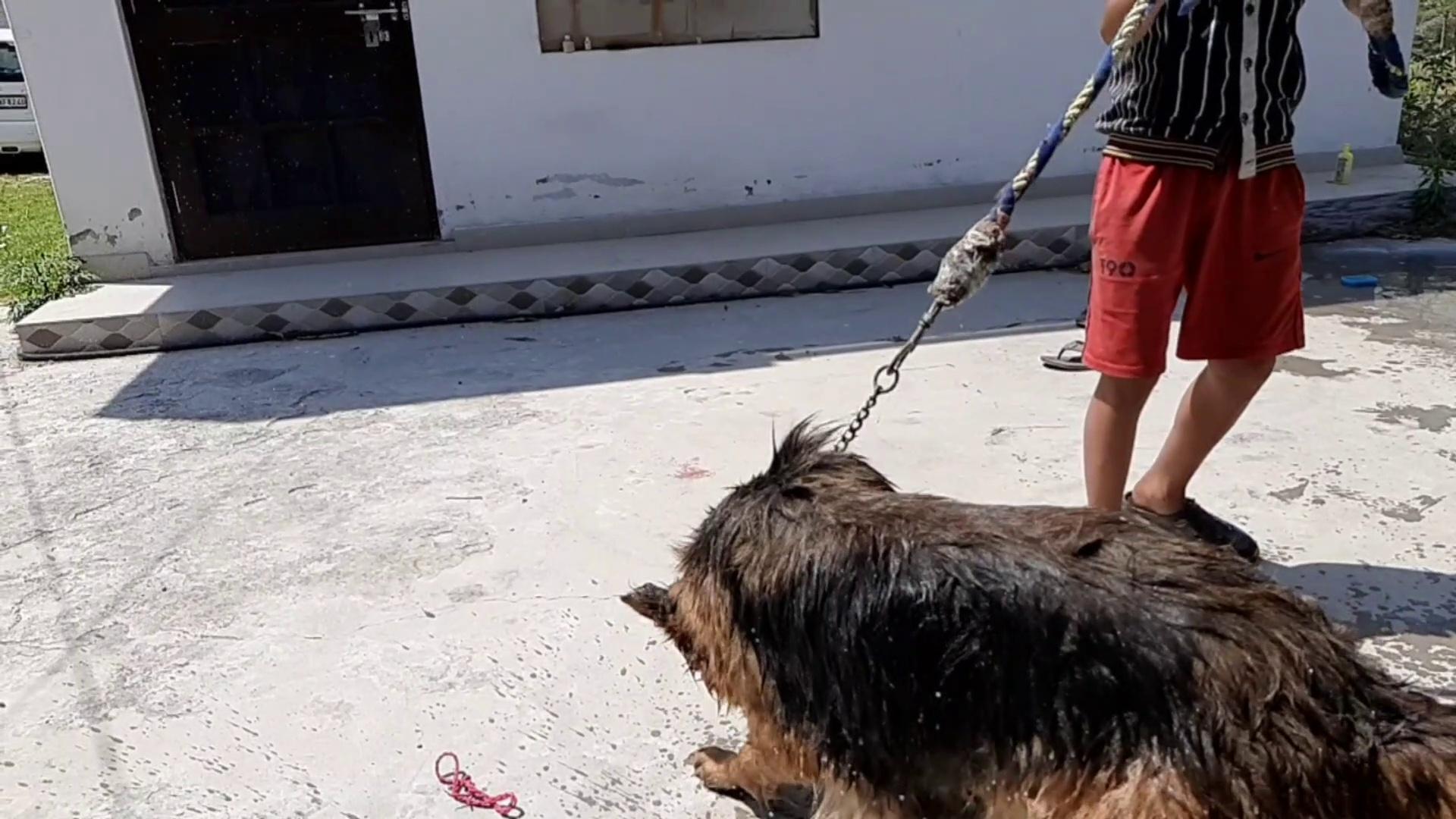 German shepherd drying off slow motion | german shepherd bathing | german shepherd bathing funny.
