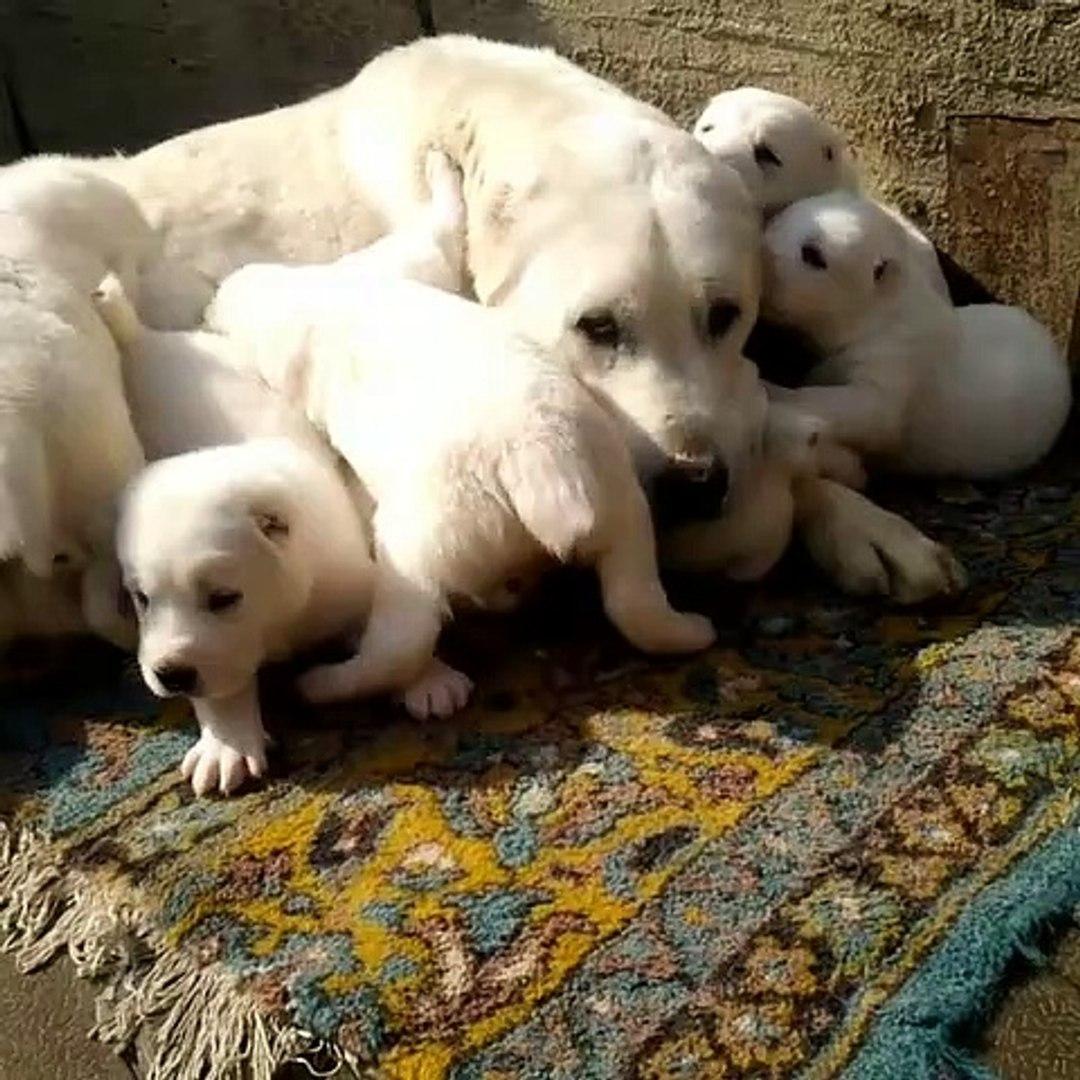 ALABAY KOPEK YAVRULARINA SABAH KAHVALTISINDA ANNE SUTU - ALABAi SHEPHERD DOG PUPPiES