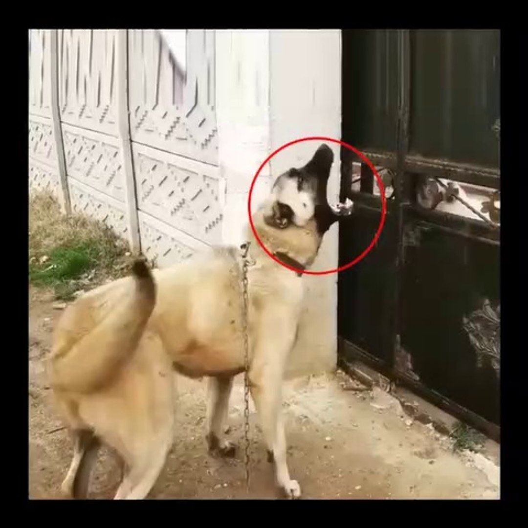 COBAN KOPEKLERi SERT ATISMA ANLARI - ANATOLiAN SHEPHERD DOGS vs