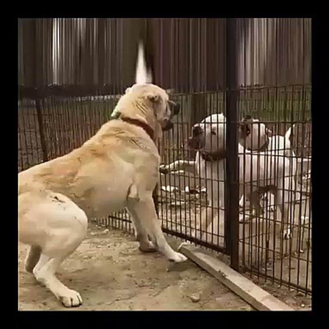 DOGO ARGENTiNO DOG vs ANADOLU COBAN KOPEGi - DOGO ARGENTiNO vs ANATOLiAN SHEPHERD DOG