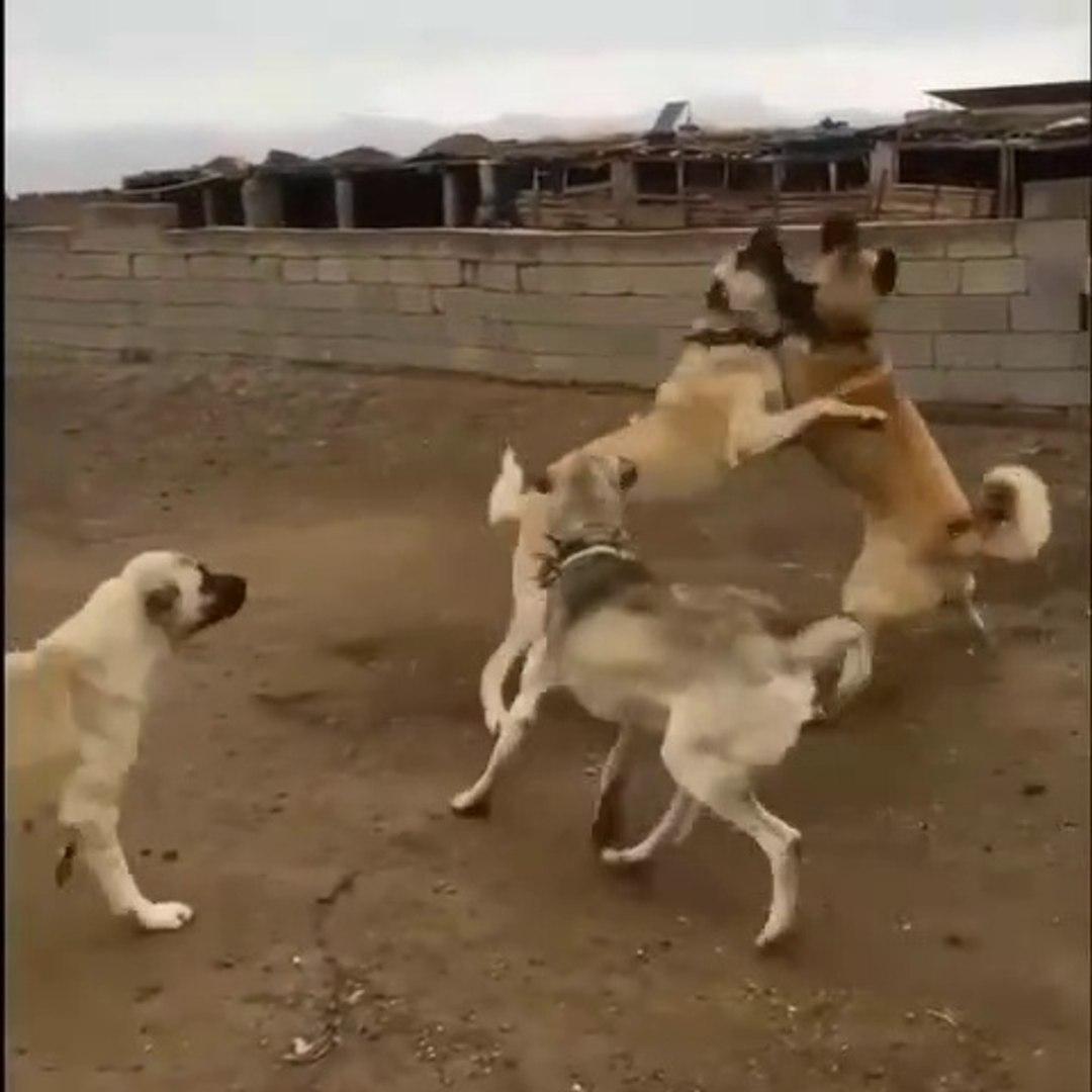 SiVAS KANGAL KOPEKLERiNiN HODRi MEYDAN DUELLOSU - KANGAL SHEPHERD DOGS FACE TO FACE VS
