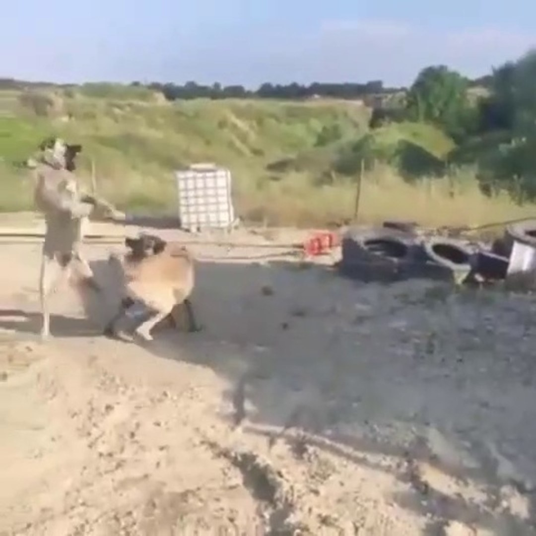 SiVAS KANGAL KOPEKLERiNiN BiRBiRLERiNE ATARLANMASI - KANGAL SHEPHERD DOGS VS