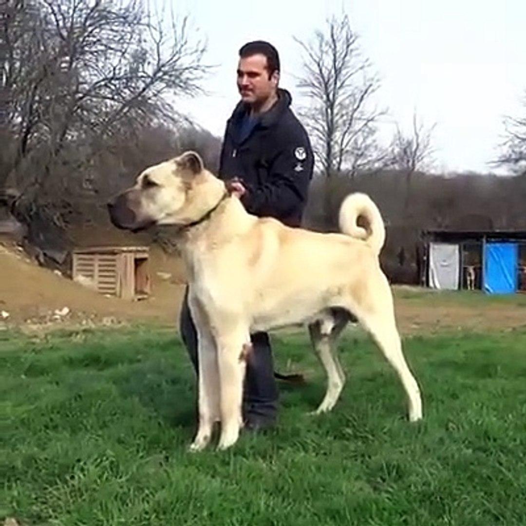 DUZGUN FiZiKLi SiMiT KUYRUK ANADOL COBAN KOPEGi - ANATOLiAN SHEPHERD DOG