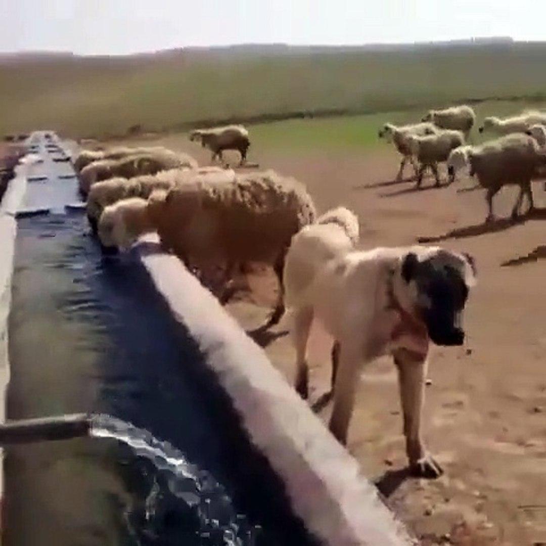 SiVAS KANGAL KOPEGiNDEN KALiTE KONTROL - ANATOLiAN SHEPHERD KANGAL DOG and SHeeP