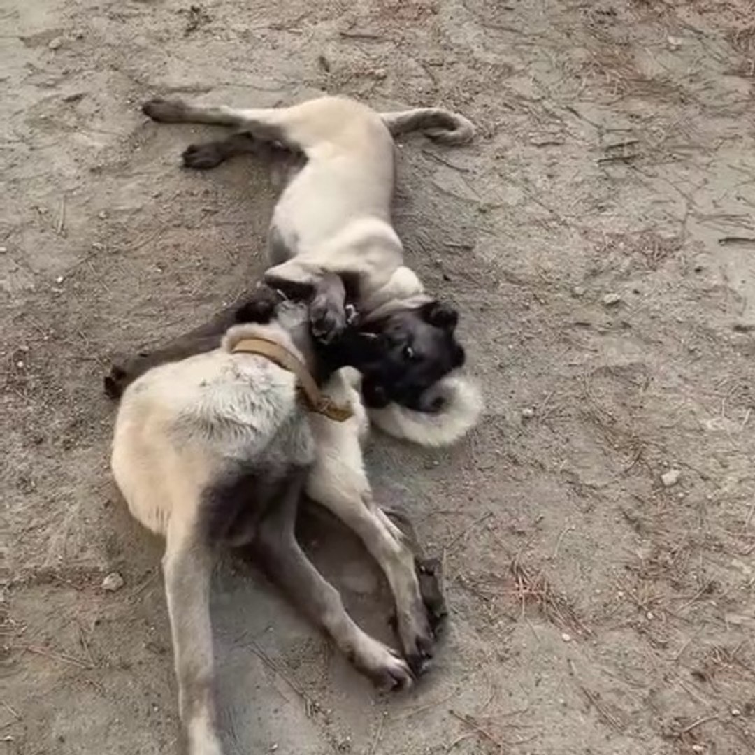 SiVAS KANGAL KOPEK YAVRULARI - KANGAL SHEPHERD DOG PUPPiES