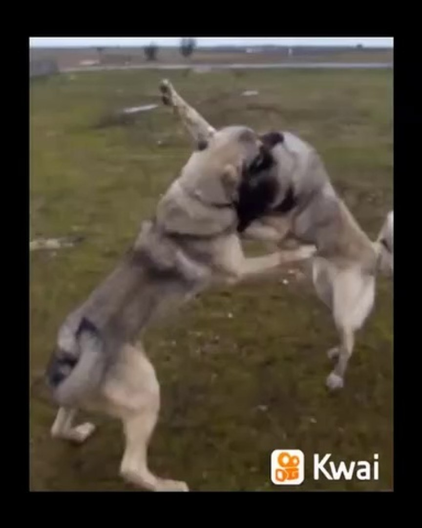SiVAS KANGAL KOPEKLERi ATISMA ISINMA TURLARI - KANGAL DOGS VS