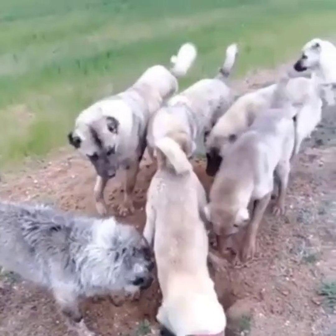 SiVAS KANGAL KOPEKLERi KURT BULAMAYINCA NE YAPAR - SiVAS KANGAL DOGS