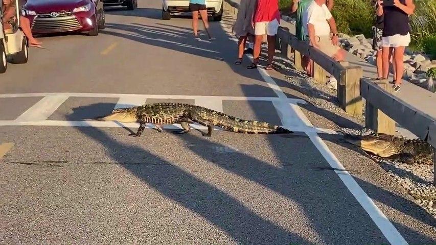 En Caroline du sud les alligators traversent au passage piéton