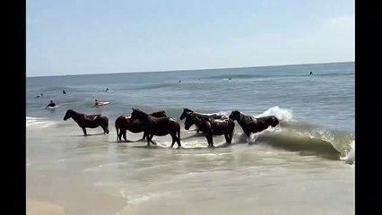 Canicule oblige : ces chevaux se baignent à la plage comme tout le monde