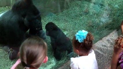 Ce bébé gorille ne se laisse pas faire face à son papa