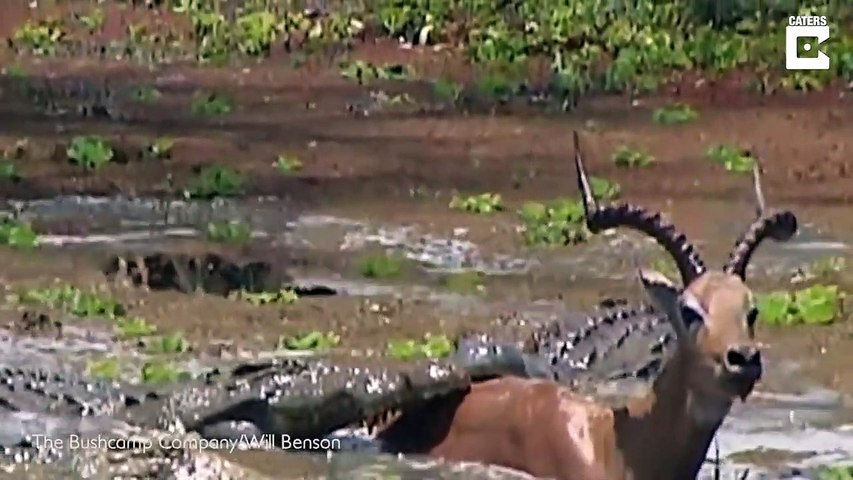 Cette Impala échappe de justesse à un crocodile