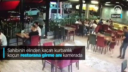 Sahibinin elinden kaçan kurbanlık koçun restorana girme anı kamerada