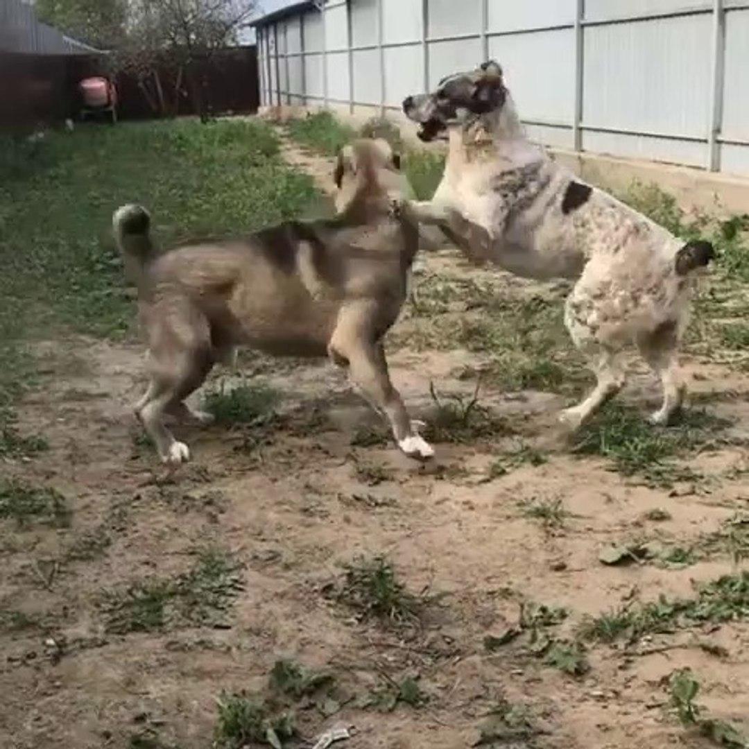 ALABAY COBAN KOPEGi YAVRULARI OYUNDA - ALABAi SHEPHERD DOG PUPPiES GAME