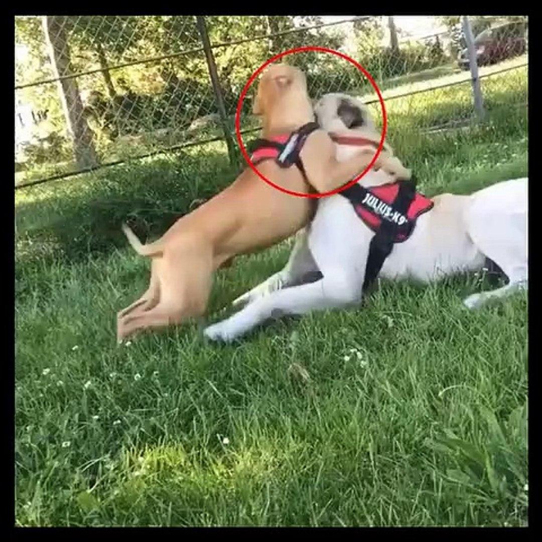PiTBULL TERRiER vs ANADOLU COBAN KOPEGi - PiTBULL TERRiER DOG vs ANATOLiAN SHEPHERD DOG VS