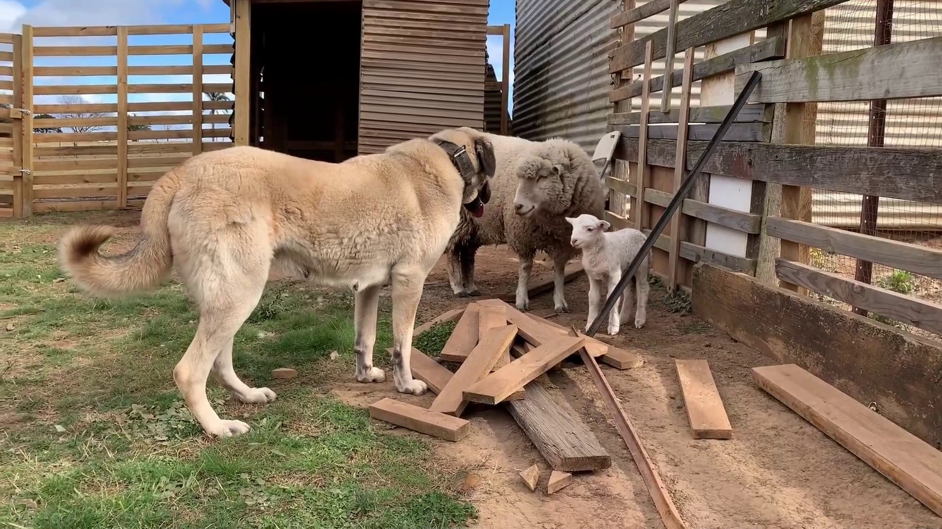 SiVAS KANGAL KOPEGi KOYUN ve KUZU NOBETi - KANGAL DOG SHEEP and LAMB