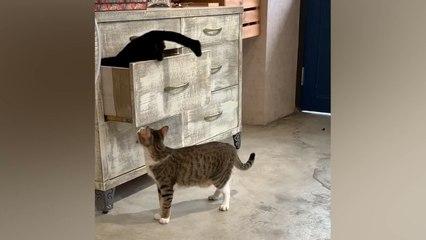 Katze klettert in Schublade – Artgenosse spielt ihr hinterlistigen Streich