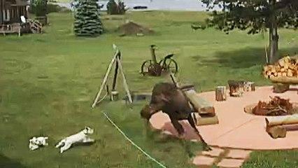 Kleine Hunde mit großen Ambitionen: Winzige Vierbeiner vertreiben riesigen Elch