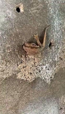 Il sauve un lézard coincé, la tête dans un mur