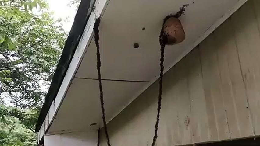La technique de ces fourmis pour détruire un nid de guêpe : incroyable