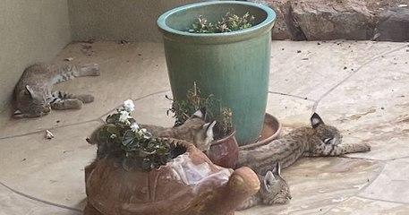 Une artiste américaine tombe nez à nez avec une famille de lynx devant son domicile