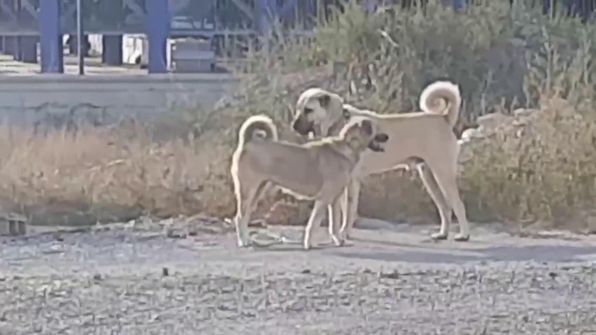 ANADOLU COBAN KOPEKLERi BiRBiRiNE KUR YAPARSA - ANATOLiAN SHEPHERD DOGS