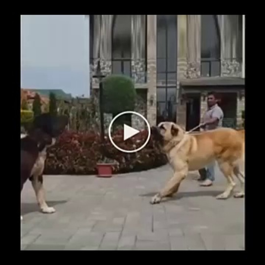 ALABAY vs COBAN KOPEGi - ALABAI vs ANATOLiAN SHEPHERD DOG