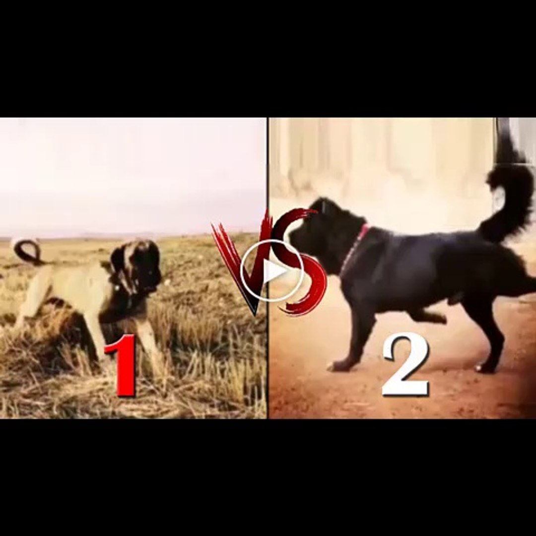 ANADOLU COBAN KOPEGi VS iRAN SARABi COBAN KOPEGi - ANATOLiAN SHEPHERD DOG vs PERSiAN SARABi DOG